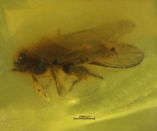 Diptera (Acalyptrata)