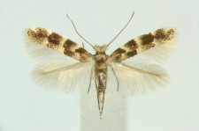 Phyllonorycter agilella (Zeller, 1846)