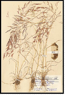 Apera spica-venti (L.) P. Beauv.