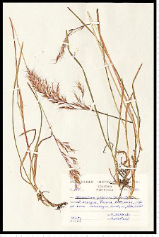 Avenula pubescens (Huds.) Dumort.