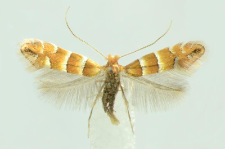 Phyllonorycter nicellii (Stainton, 1851)