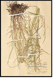 Deschampsia caespitosa (L.) P. Beauv.