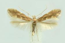 Phyllonorycter connexella (Zeller, 1846)