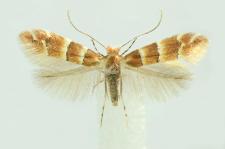 Phyllonorycter tristrigella (Haworth, 1828)
