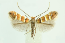 Phyllonorycter klemannella (Fabricius, 1781)