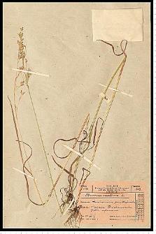 Bromus secalinus L.
