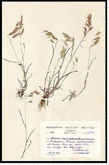 Bromus squarrosus L.