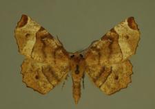 Selenia tetralunaria (Hufnagel, 1767)