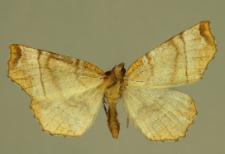 Selenia lunularia (Hübner, 1788)