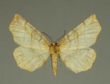 Selenia dentaria (Fabricius, 1775)