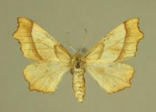 Ennomos quercinaria (Hufnagel, 1767)