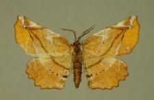 Apeira syringaria (Linnaeus, 1758)