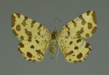 Pseudopanthera macularia (Linnaeus, 1758)