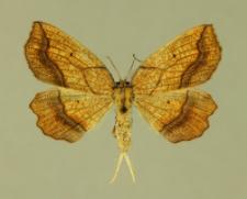 Epione vespertaria (Linnaeus, 1767)