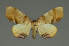 Plagodis dolabraria (Linnaeus, 1767)