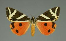 Euplagia quadripunctaria (Poda, 1761)