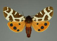 Arctia caja (Linnaeus, 1758)
