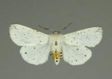 Spilosoma lubricipeda (Linnaeus, 1758)
