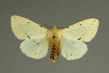 Spilosoma lutea (Hufnagel, 1766)