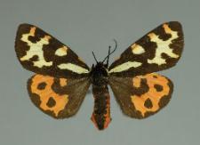 Arctia plantaginis (Linnaeus, 1758)