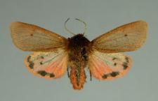 Phragmatobia fuliginosa (Linnaeus, 1758)
