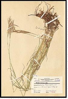 Bromus erectus Huds.