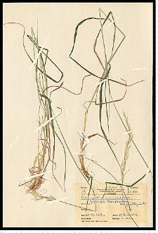 Calamagrostis canescens (Weber) Roth