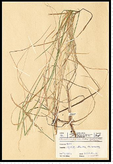 Calamagrostis stricta (Timm) Koeler