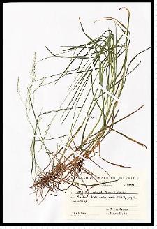 Glyceria striata (Lam.) Hitchc.