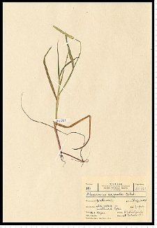Alopecurus aequalis Sobol.