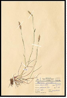 Alopecurus geniculatus L.