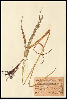Festuca arundinacea Schreb.