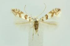 Phyllonorycter platanoidella (Joannis, 1930)
