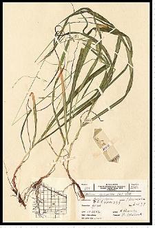 Festuca gigantea (L.) Vill.