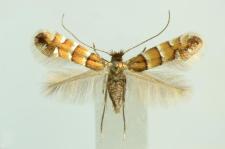 Phyllonorycter stettinensis (Nicelli, 1852)