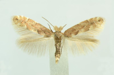 Phyllonorycter pastorella (Zeller, 1846)