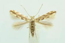 Phyllonorycter comparella (Duponchel, 1843)