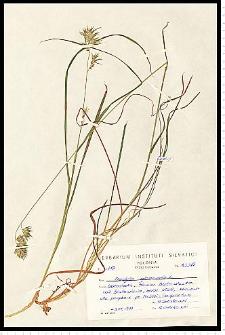 Dactylis glomerata L.