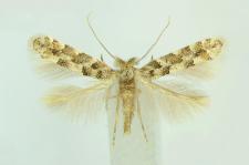 Phyllonorycter populifoliella (Treitschke, 1833)