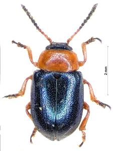Gastrophysa polygoni (Linnaeus, 1758)