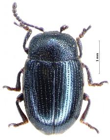 Sclerophaedon carniolicus (E.F. Germar, 1824)