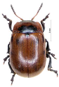 Gonioctena viminalis (Linnaeus, 1758)