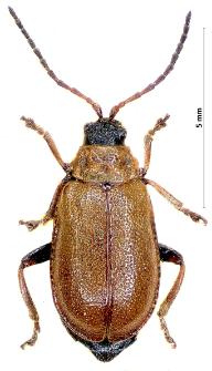 Galeruca melanocephala (Ponza, 1805)