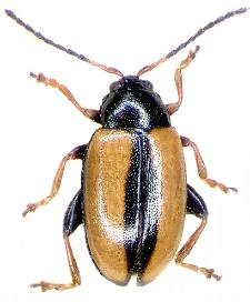 Phyllotreta armoraciae Koch, 1803