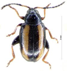 Phyllotreta nemorum (Linnaeus, 1758)