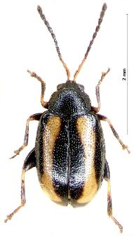 Phyllotreta undulata F. Kutschera, 1860