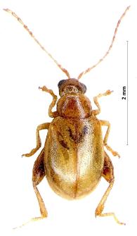 Longitarsus symphyti Heikertinger, 1912