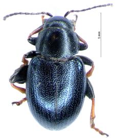 Chaetocnema mannerheimii (L. Gyllenhal, 1827)