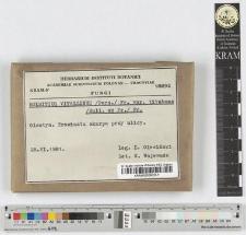 Bolbitius vitellinus /Pers./ Fr var. var. titubans /Bull. ex Fr./ Fr.