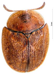 Cassida ferruginea J.A.E. Goeze, 1777